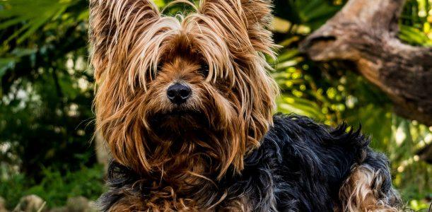 Tout ce qu'il faut savoir sur la race de chien Yorkshire Terrier