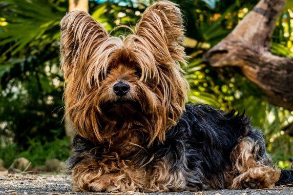 Tout-ce-qu'il-faut-savoir-sur-la-race-de-chien-Yorkshire-terrier