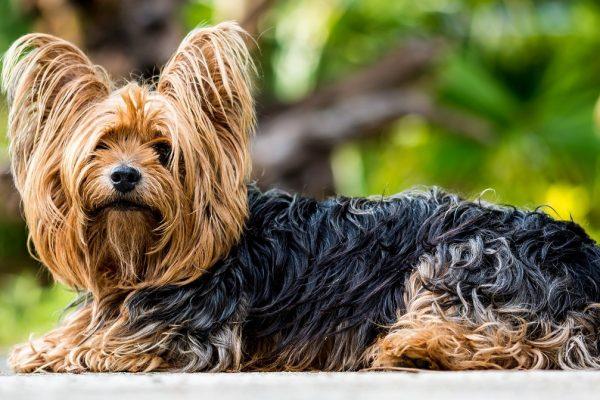 yorkshire-terrier-361730_1280